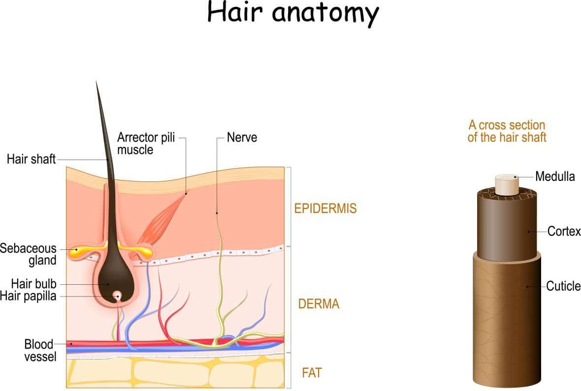 Aufbau des menschlichen Haares